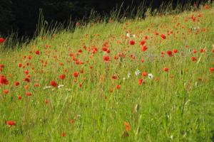 This Wildflower meadow was sown 1 year ago and is now rich with native wild flow