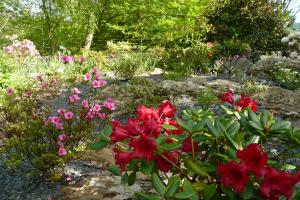 Dwarf Rhododendrons to rockery